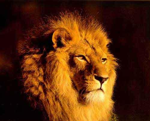 dailymotion vid o de lions chasseurs de buffles et d 39 autres animaux de la savane. Black Bedroom Furniture Sets. Home Design Ideas